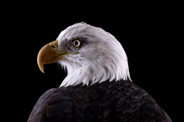 fotografia de animais selvagens- Brad Wilson - águia
