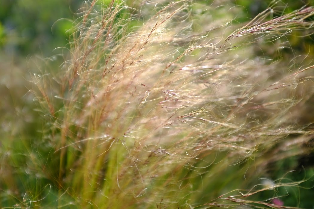 Wispy Grass - © 2015 Graeme Walker - Garden Photography, Plants, Geology, Creatures