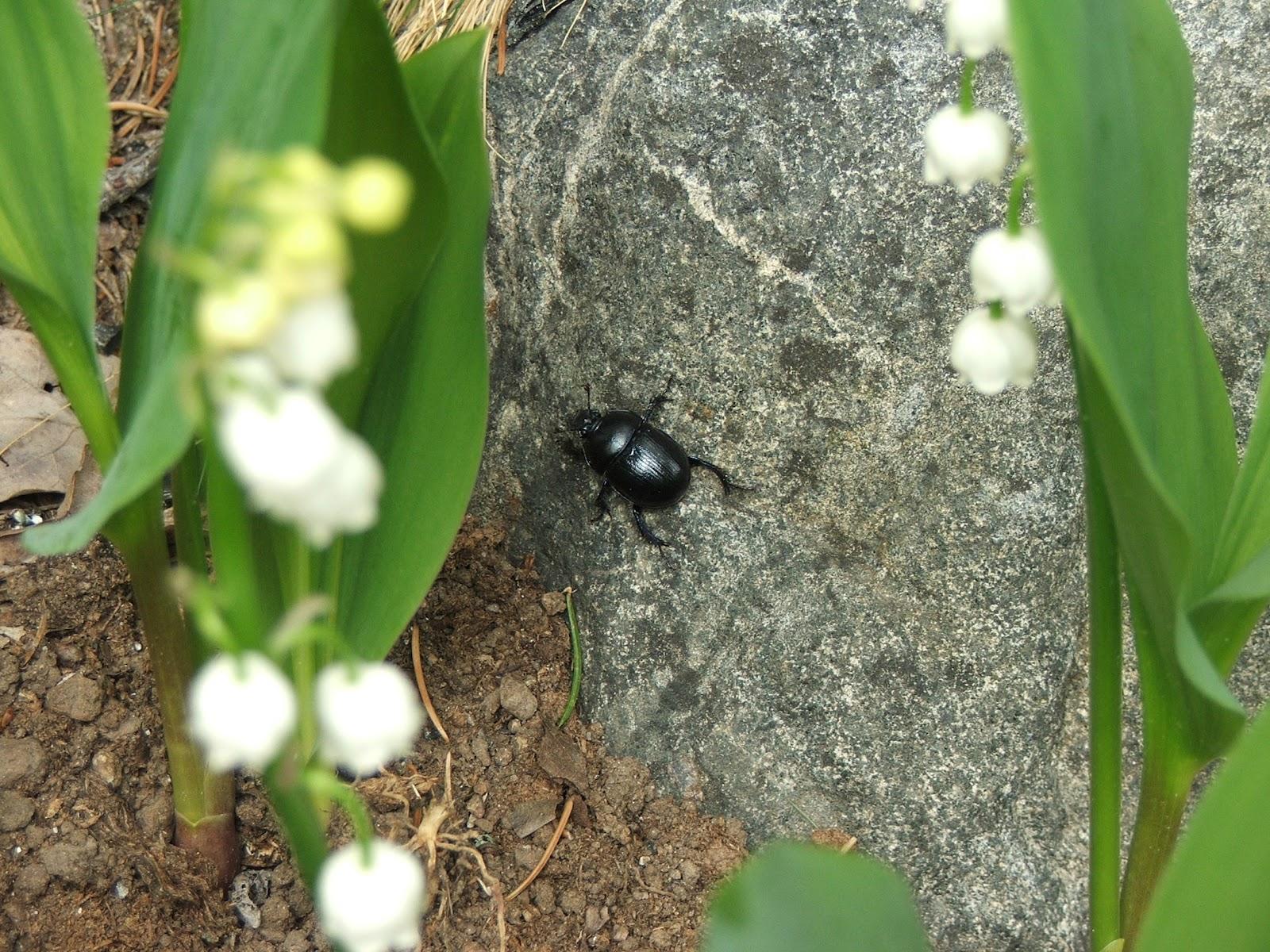 Rosor och akvileja, himla trädgård: lijekonvalj