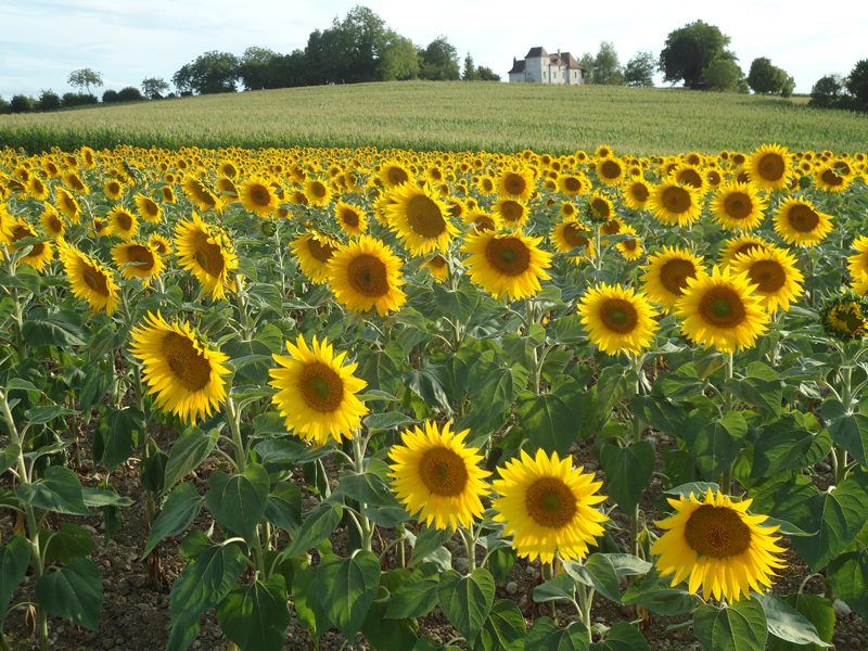 the sunflower response The sunflower has 6,365 ratings and 595 reviews aileen said: simon wiesenthal is in a nazi concentration camp in poland and performing physical labor at.