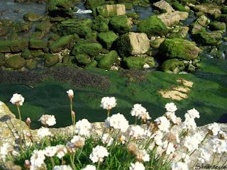 flores y rocas- Cóbreces - Cantabria
