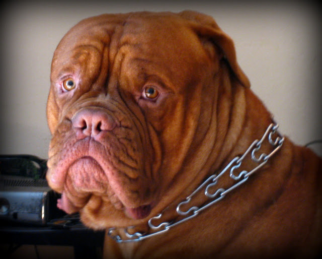 Murrieta365 The Dogue de Bordeaux, Bordeaux Mastiff or French Mastiff or Bordeauxdog, whatever you want to call him is fine.  His given name is Mopar.