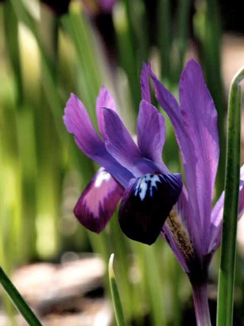 Purple Gem Iris, Conservatory Garden, Central Park, NYC