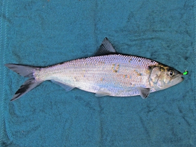 North american freshwater fishing how to catch shad and for North american freshwater fish
