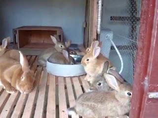 negócio de criação de coelhos