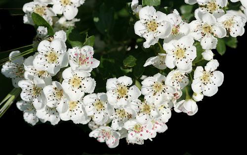 Biancospino, la pianta del cuore