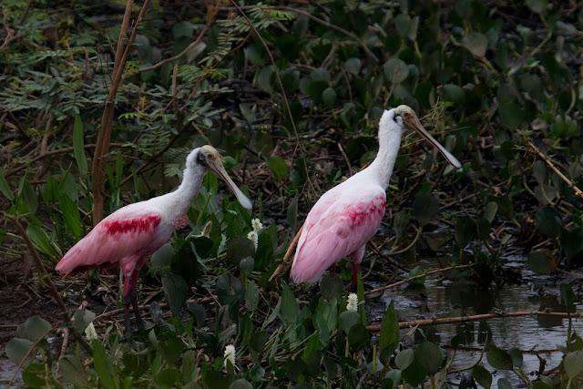 A photograph of the Roseate Spoonbill taken in the Pantanal in Brazil