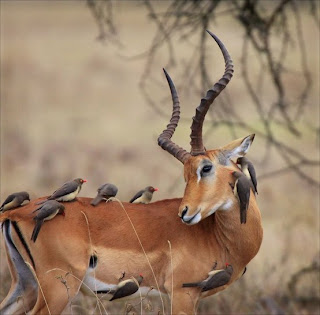 antelope and oxpeckers