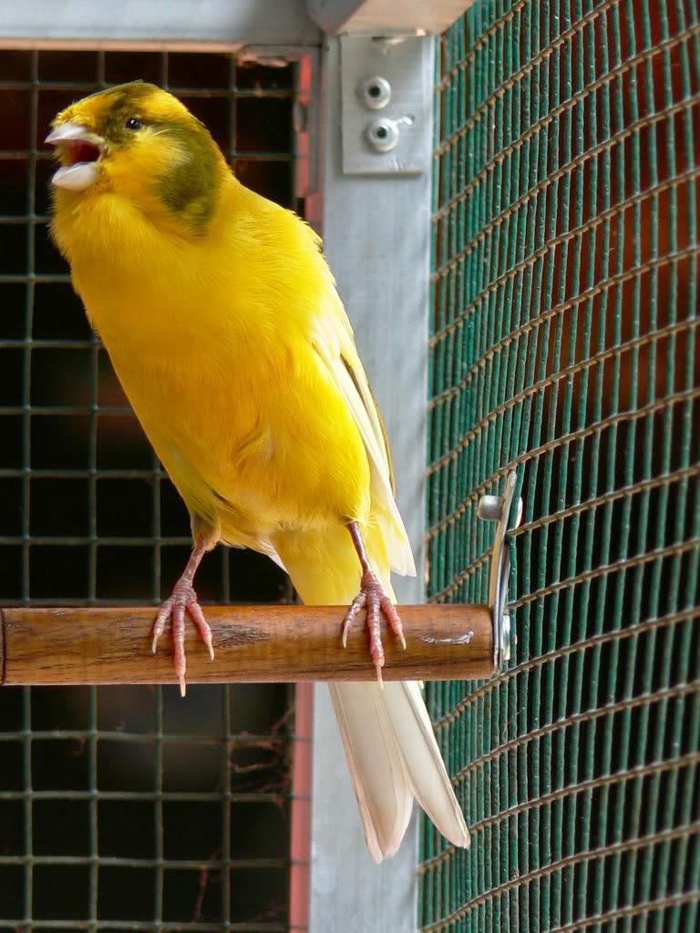 Perawatan khusus Burung kenari agar lebih sering berkicau