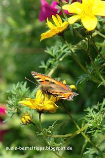 Schmetterling auf Bidens