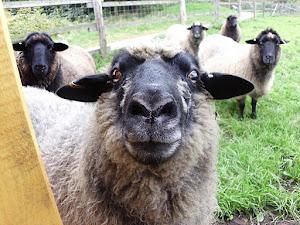 Frieda, das älteste Schaf auf der Karlshöhe