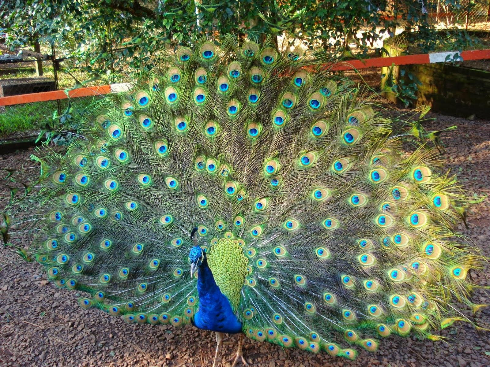 Piruja las plumas del pavo real - Fotos de un pavo real ...