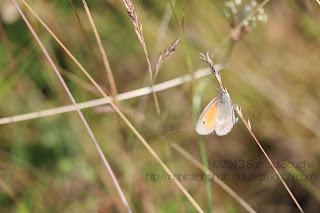 photo macro papillon fadet herbe