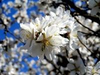 Castaño comienzo de la primavera en Margalef