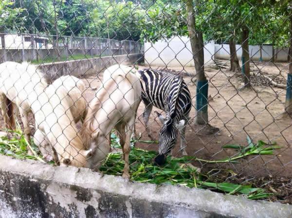 Ngựa bạch và ngựa vằn tại khu du lịch sinh thái trại bò