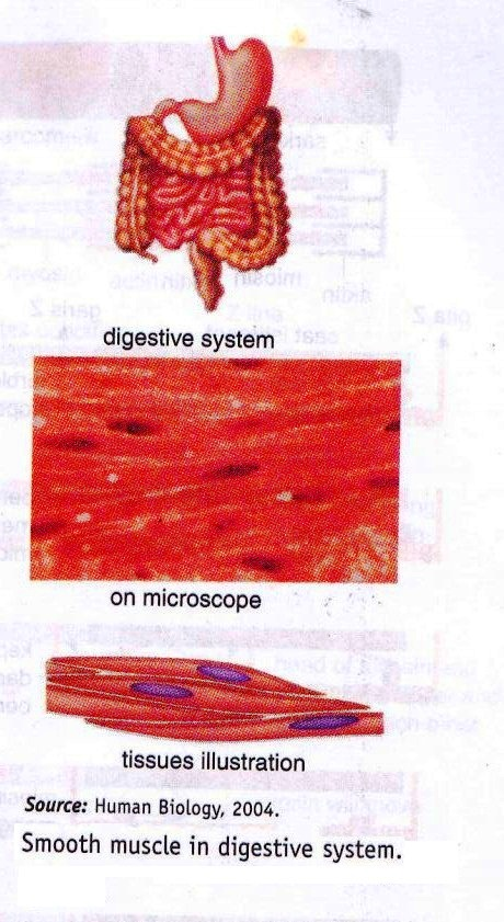 Which type of muscle is found in your digestive system?