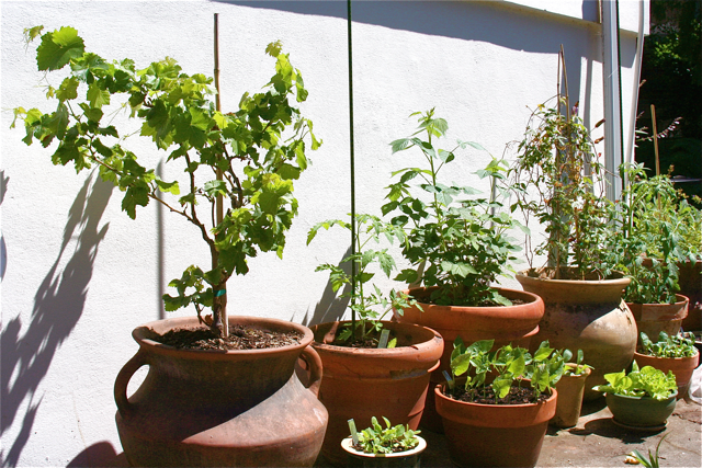 how to grow raspberry canes in pots