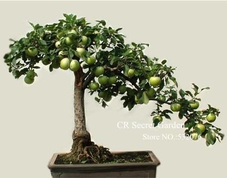 El arte de cultivar plantas bonsai trujillo peru bons i - Como cultivar bonsais ...