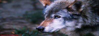 Couverture facebook le loup