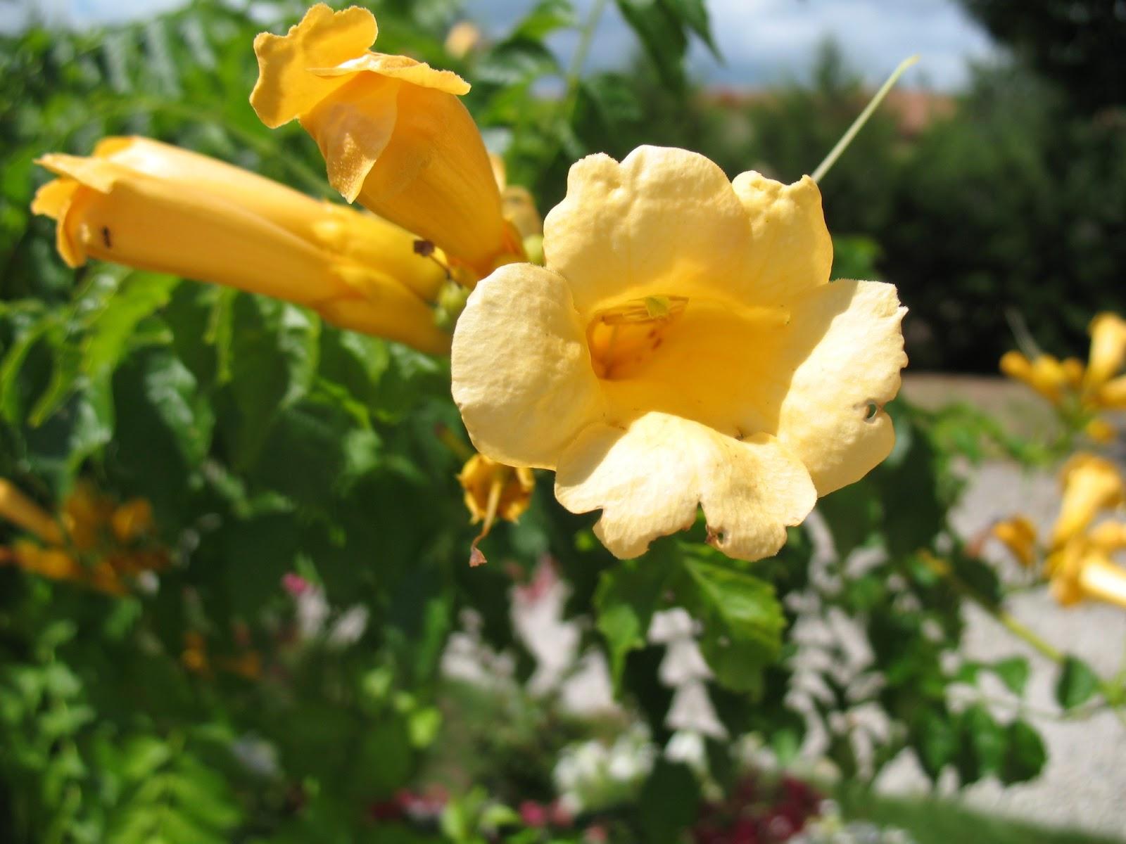 Roses du jardin ch neland l 39 aventure d 39 une bignone - Fleur en forme de trompette ...