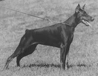 raza de perros doberman