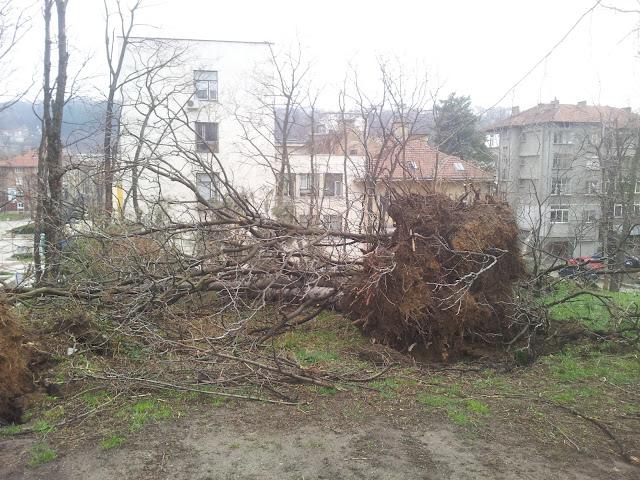 Огромни дървета изтръгнати с корените в Габрово