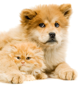 The dog in world: Chow Chow dogs