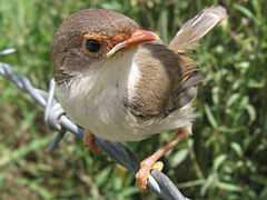 Cara Merawat Burung Ciblek Jadi Gacor - Cara Merawat Burung Ciblek Jadi Gacor