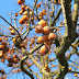 picking persimmons