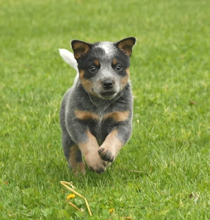 Australian Cattle Puppy Image