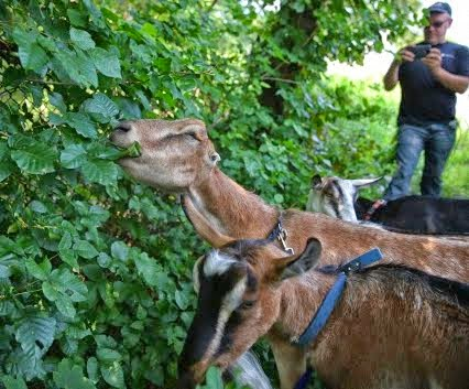 Boston deploys goats against poison ivy in Hyde Park