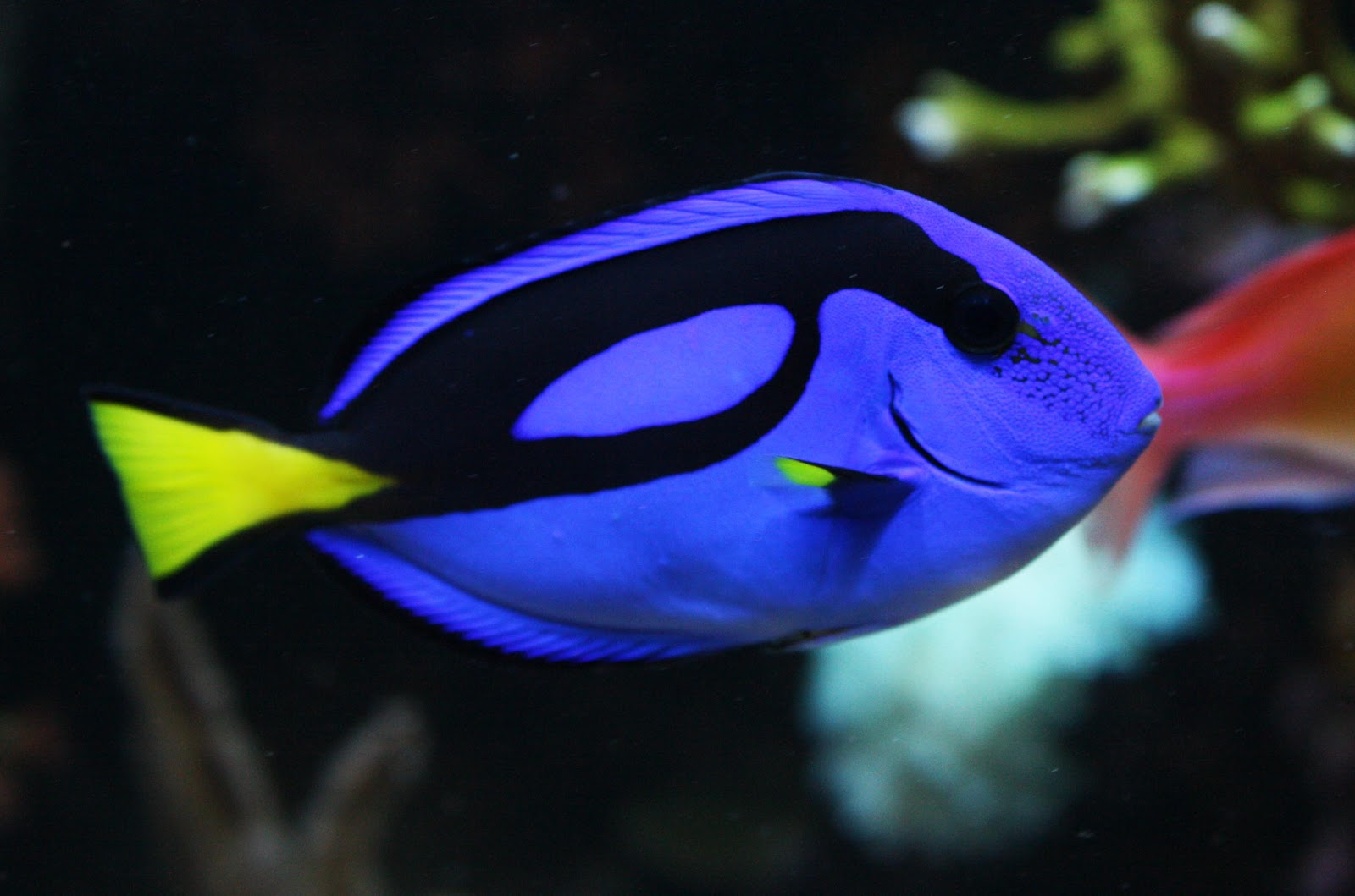 Blue tang fish wallpapers fun animals wiki videos for What fish is this