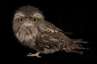 Joel Sartore, tawny frogmouth, endangered animals photos