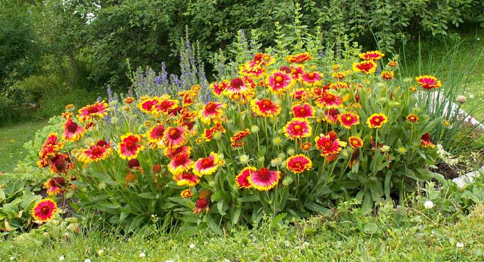 Цветы в нашем саду многолетники и описание