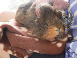 Who says guinea pigs don't have a tale?