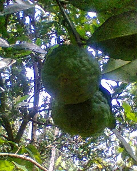 Jeruk Perut dan Manfaatnya
