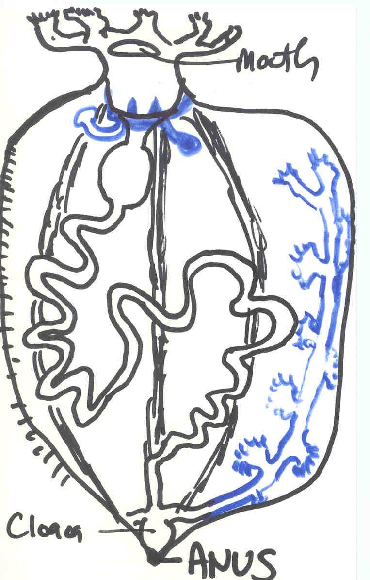 The Echinoblog: Sea Cucumber Defense Pt.2! Evisceration of Cuvierian ...