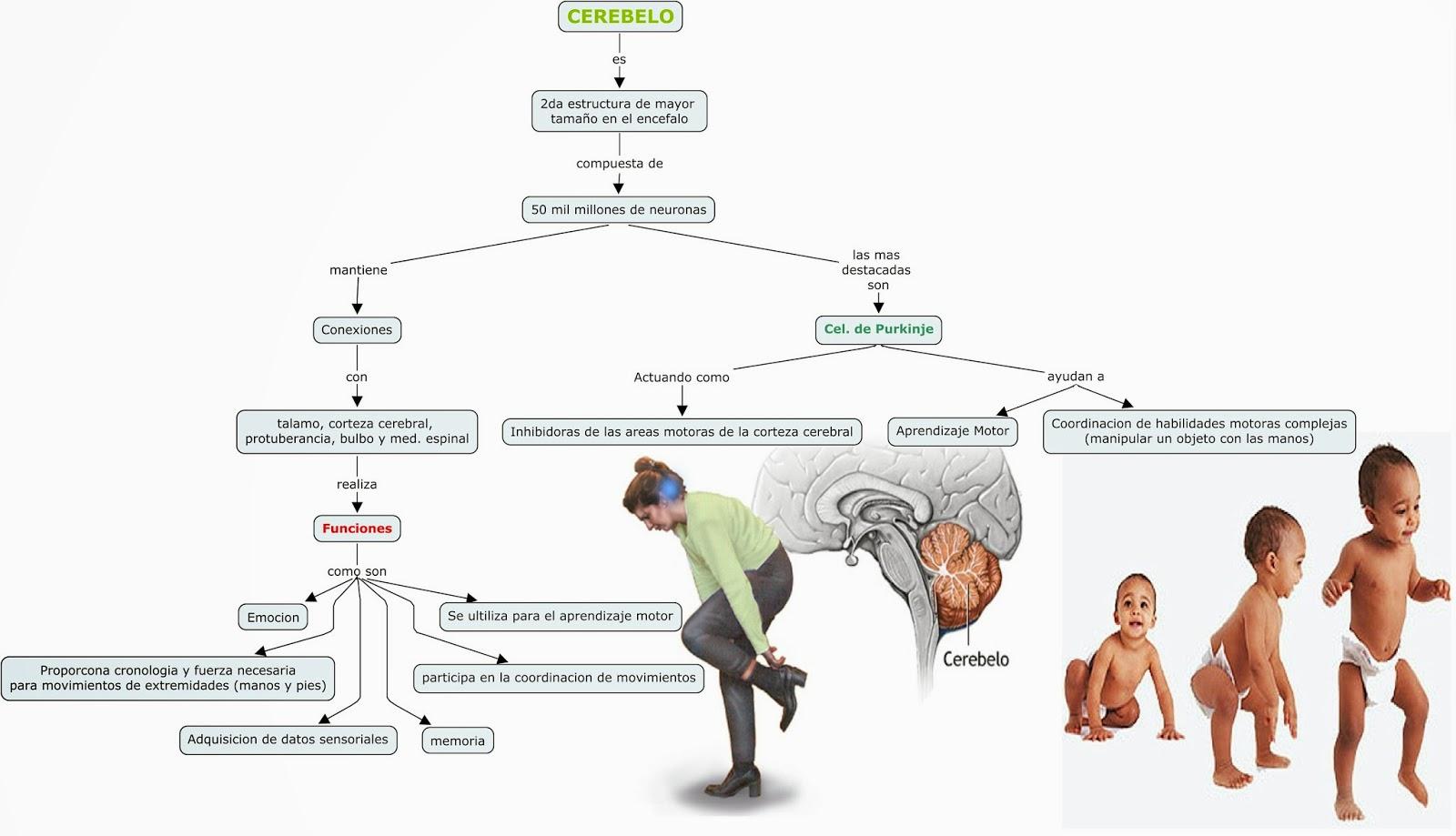 Blog de Fisiologia Medica de Miguel Angel Rivera Arce: Mapa hibrido ...