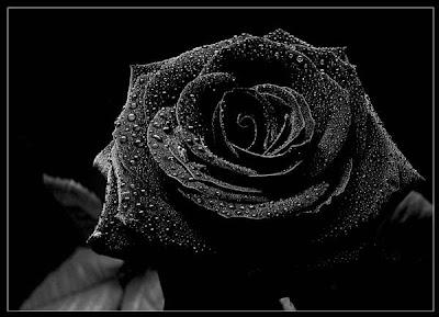 hd flower wallpaper free black rose flower wallpaper
