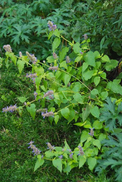 Agastache foeniculum 'Golden Jubilee' competes well in this tightly planted succession in the Driveway Garden.