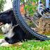 Como pasear en bici con seguridad a tu perro [video]