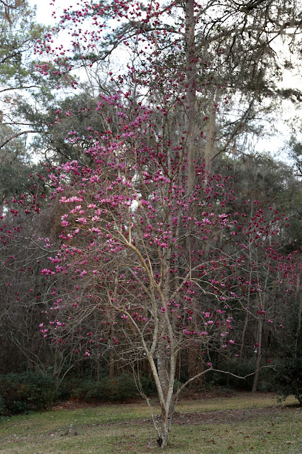 Sweet Southern Days Japanese Magnolia Blossoms