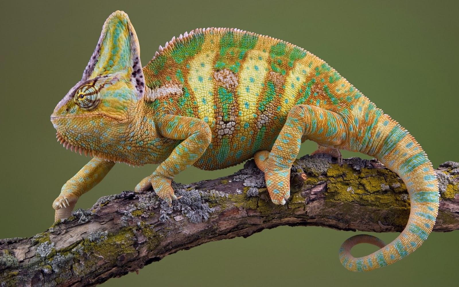 striped chameleon wallpaper hd - photo #18