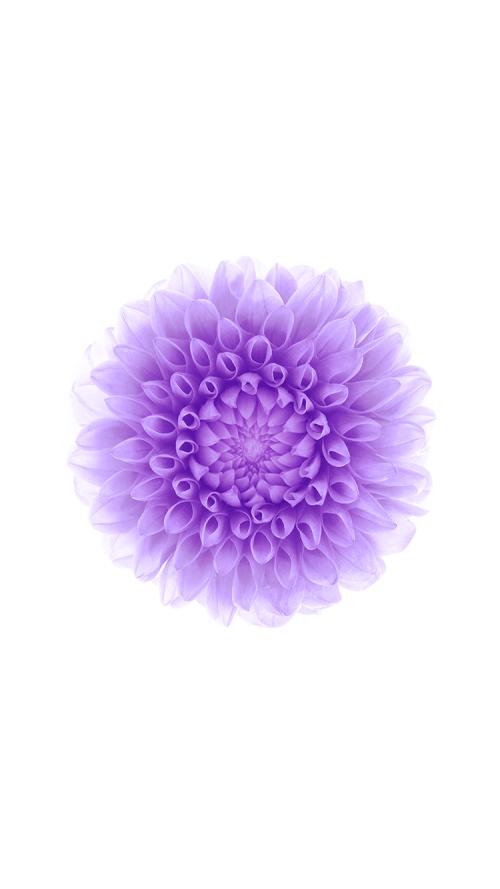 Flower wallpaper for iPhone 6