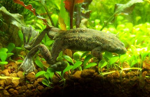 the frog s meal and contradistinct requirements aquatic frogs care