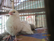 White Quail