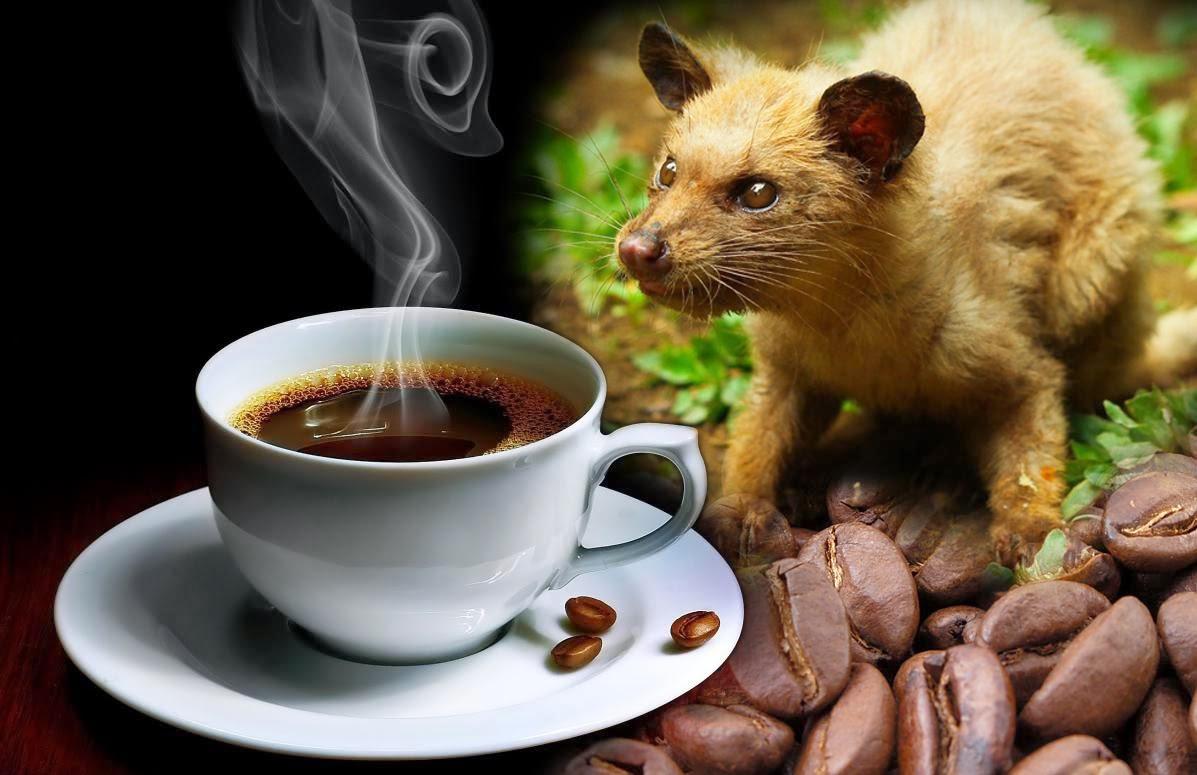 Kehebatan dan kenikmatan kopi luwak,kopi telek luwak