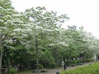 洛西高島屋東通路の周辺の並木