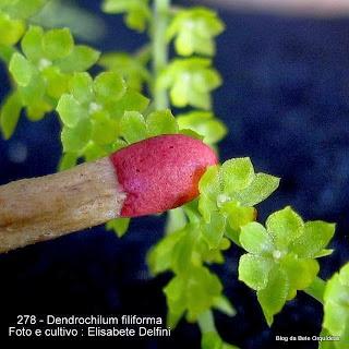 Platyclinis filiformis ,Acoridium filiforme ,Dendrochilum ramosii Ames, Dendrochilum filiforme var. ramosii .