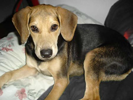 Big German Shepherds: German Shepherd Coonhound Mix